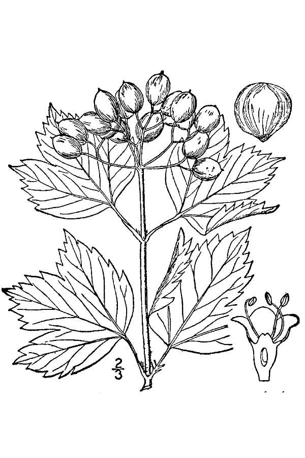 Image Result For Low Bush Cranberry Coloring Page