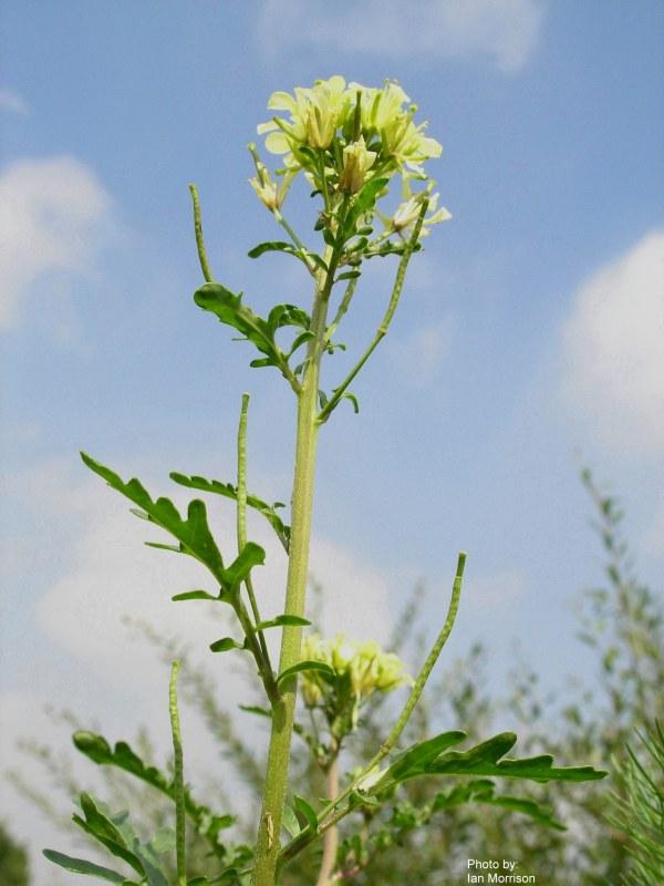 Erucastrum Gallicum Roguesgallery
