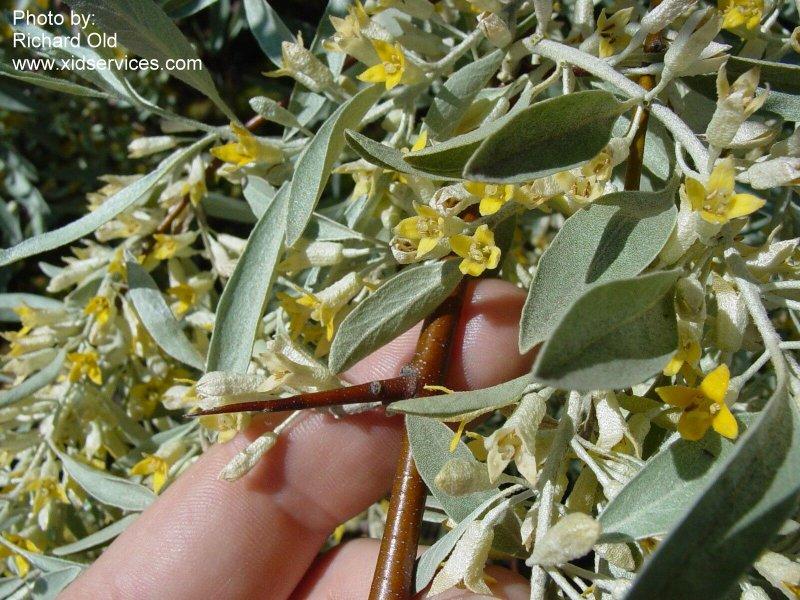 http://www.anpc.ab.ca/wiki/images/9/95/Elaeangu_XID_Elaeagnus_angustifolia_60413.jpg