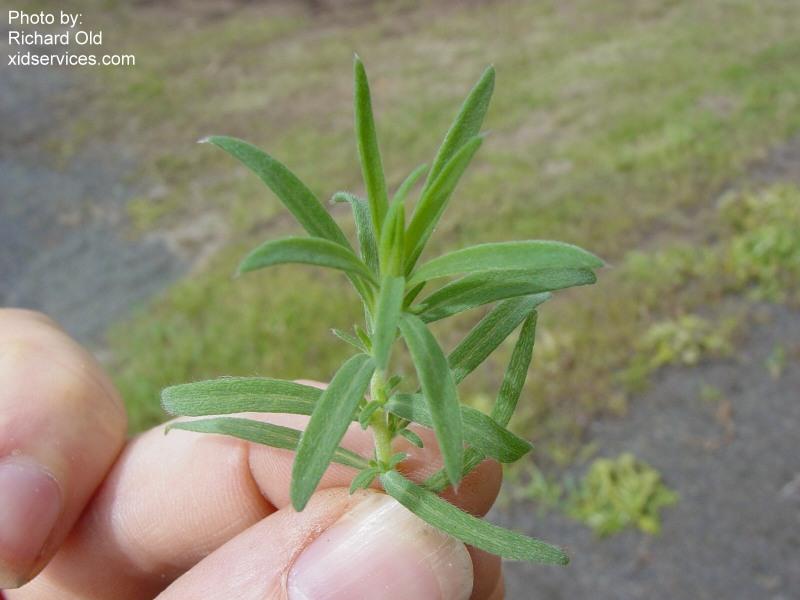 Bassia Hyssopifolia Roguesgallery
