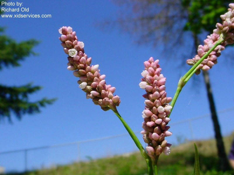 Polypers XID Polygonum persicaria2.jpg