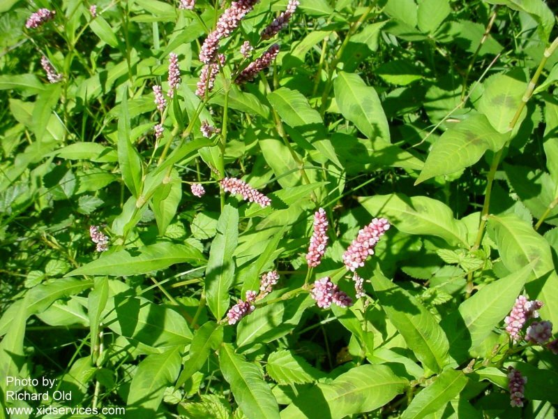Polypers XID Polygonum persicaria1.jpg