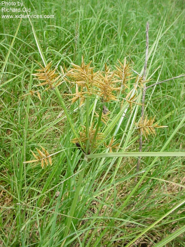 Cyperus esculentus - RoguesGallery
